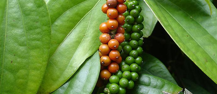 Vietnam admits its black pepper exports will fall | Vietnam Black Pepper